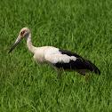 Maguari(Maguari Stork)