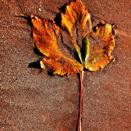 Leaf on sand by Ciprian Apetrei - Nature Up Close Leaves & Grasses ( sand, nature up close, brittany, beach, leaf,  )