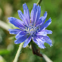Common Chicory