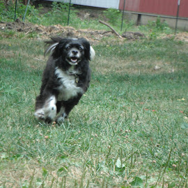 Muffy Running by Kristina  Dorsett - Animals - Dogs Running ( dogs, cute dogs running, dogs running, cute dogs, animal )