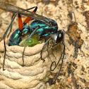 Blue Spider wasp