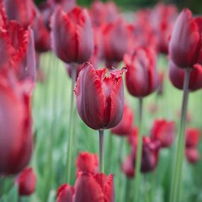 Tulipa by Erik Pettinari - Flowers Flower Gardens ( tulipa, tulipano, garden, flower,  )