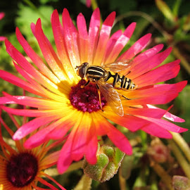 Hot Colours by Julie Kendall - Novices Only Wildlife ( hoverfly, ireland, cork, summer, insect, garden, flower, mesembryanthemum )