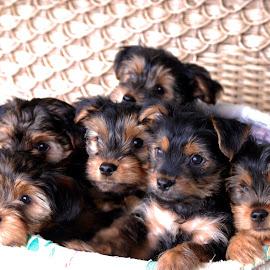 10 Weeks Old by Alicia Bormann Lukowski - Animals - Dogs Puppies