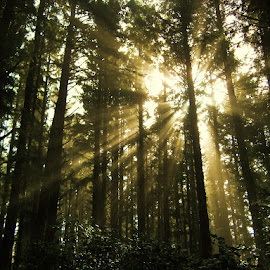 sun through the trees by Tyrell Heaton - Landscapes Forests ( silhouette, forest, denmark, sun )