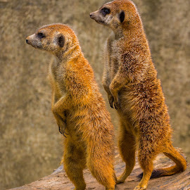 The Merrkats by James Kirk - Animals Other Mammals ( animals, merrkat, brown )