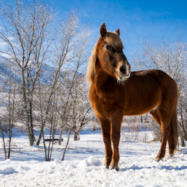 Born Free by Marvin Bowen - Animals Horses ( stallion, blue, horse, snow, white, brown )