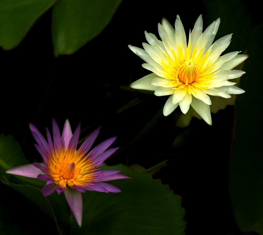 Couple of Water Lillies by Malvinder Virdi - Flowers Flowers in the Wild ( lillies, purple, white, flowers, lilly )