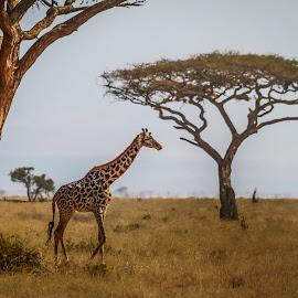 Girafe on a walk by Wim Moons - Animals Other Mammals ( tree, giraffe, wildlife, kenya, mamal, africa )