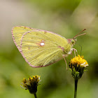 Himalayan Dark Clouded Yellow (female)
