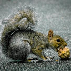 Jo Jo 5 by Gregg Pratt - Animals Other Mammals ( squirrel )