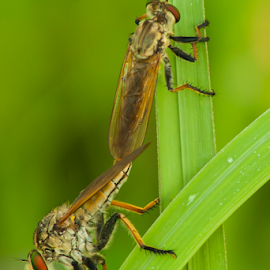 Separated by Umar Hasan Alfarouq - Animals Insects & Spiders ( animals, macro, nature, mating, insects, robber fly )