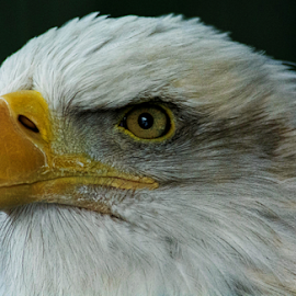 Intense by Janet Lyle - Animals Birds ( eagle, raptures, wildlife )