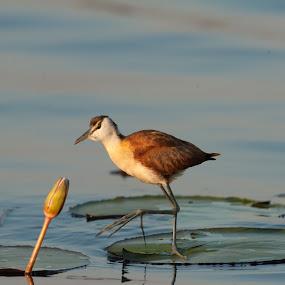 African Jacana by Joss van Wyk - Animals Birds ( chobe, botswana, jacana, africa, water lilies )