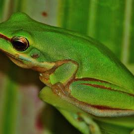 Baby frog 2cm by Simon Tidd - Animals Amphibians ( macro, tree, frog, green, amphibian, garden )