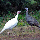 Wild turkey (leucistic)