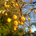 Yellow Siberian Crab Apples