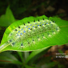 Yellow Archduke Caterpillar