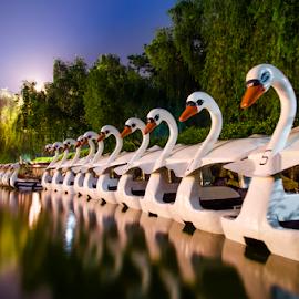 The Lake Ballerinas by Gerald Fabro - City,  Street & Park  City Parks ( swans, reflection, park, night, lake )