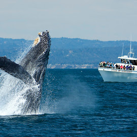 Humpback Whale breaching by Wade Tregaskis - Animals Sea Creatures ( humpback, tourists, breaching, fin, boat, whale, whitewater )