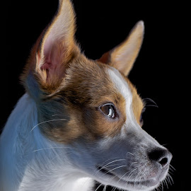 Keen eyed & Listening by Jim Downey - Animals - Dogs Portraits ( jack russell terrier, alert, aware, watchful, listening )