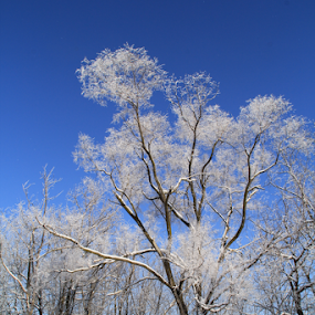 Winter Magic by Marsha Biller - Nature Up Close Trees & Bushes ( blue sky, winter, icy, jack frost, snow, trees,  )