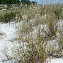 European Beachgrass (Estorno)
