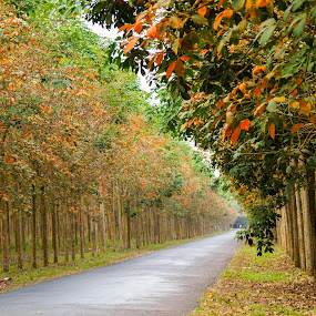 Changing leaves season by Kiên Lâm - Landscapes Prairies, Meadows & Fields ( cao su, binh duong, rubber tree, man vo, lake, vietnam, zuiko fans photo trip, ho, dau tieng, olympus )