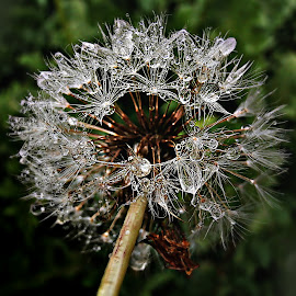 Dreams Your Dream by Marija Jilek - Nature Up Close Other plants ( ste, dandelion, nature, drops, plants, seeds )