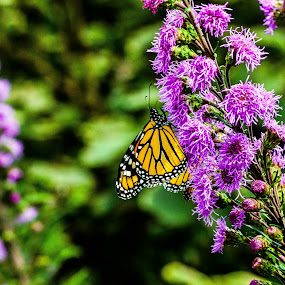 Butterfly up close at Janesville Rotary Gardens by Jason Lockhart - Animals Insects & Spiders ( rotary gardens, wisconsin, janesville, up close, butterfly, summer, flowers )