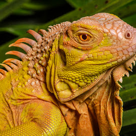 by Lisa Coletto - Animals Reptiles ( lizard, iguana, reptile )
