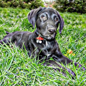 I am loved by Nat Bolfan-Stosic - Animals - Dogs Portraits ( love, grass, labrador, dog, young,  )