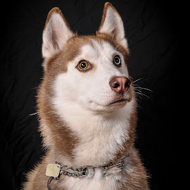 by Danta Simonsen - Animals - Dogs Portraits