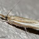 Grass-veneer Moth