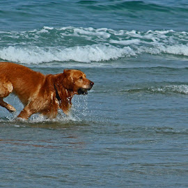 Fetch at the Beach by Jeannine Jones - Animals - Dogs Playing
