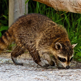 Raccoon by Dan Ferrin - Animals Other Mammals ( nature, wildlife, raccoon, mammal, animal )