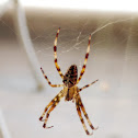Male European Garden Spider