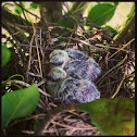 Morning Dove (babies)