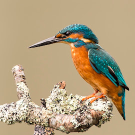 Kingfisher Portrait by Gary Hickson - Animals Birds ( bird, england, kingfisher, portrait )