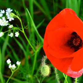 Poppy by Mandy Dale - Novices Only Flowers & Plants