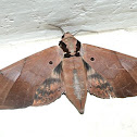Sphinx or Hawk moth