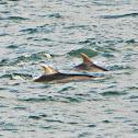 Common Bottlenose Dolphin / Golfinho-comum, Roaz