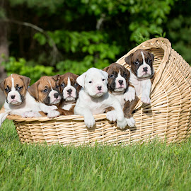 Basket Of Boxers by Tara Chumsae - Animals - Dogs Puppies ( babies, animals, pups, dogs, boxer, pup, boxers, baby animals, cute, puppies, sweet, pet, pets, puppy, adorable, dog, animal, #GARYFONGPETS, #SHOWUSYOURPETS )