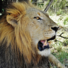 King. by Carine Smit - Animals Lions, Tigers & Big Cats