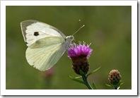 Papillon17A