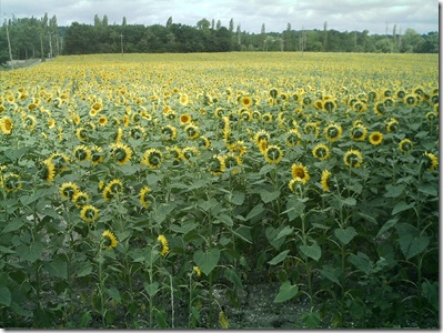 sunflowers 0808