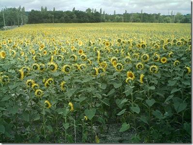 sunflowers 0808