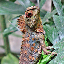 posing by Uschi Rules - Animals Amphibians ( orange, spike, lizard, spikes, colorful, colors, green, white, hagenbeck, hamburg, colours, reptiles, colourful, red, zoo, jungle, blue, iguana, brown, reptile, spiky, spikey, black )