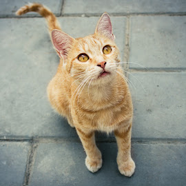 cat by Ehsan Oghar - Novices Only Pets ( tehran, iran, cat, 550d, ginger, cute, canon eos )