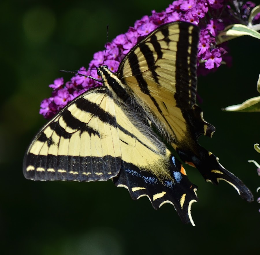 Swallowtail by Ed Hanson - Animals Insects & Spiders ( butterfly, yellow, insect, black, close-up )
